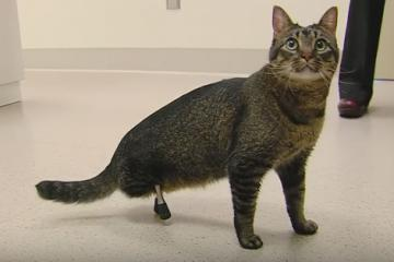 Cat Gets Rare Prosthetic Legs By ISU Vets